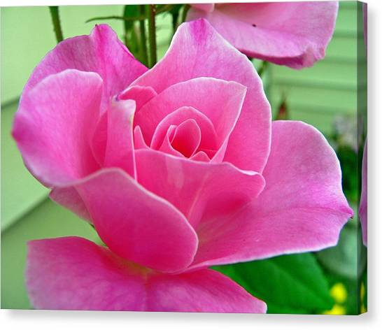 p1050202b  Pink Rose Canvas Print by Ed Immar