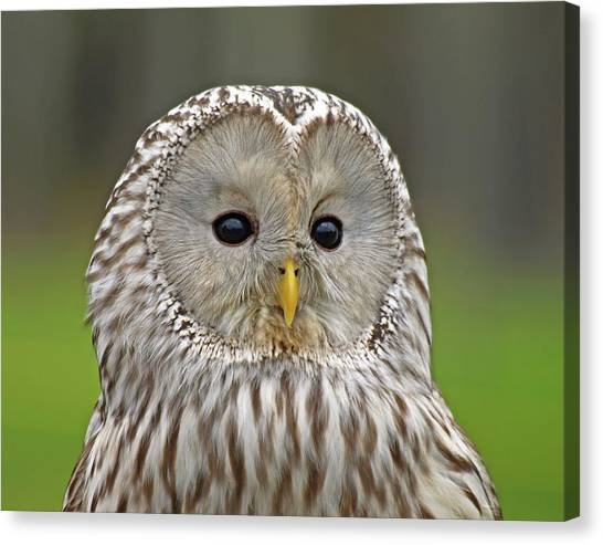 Ural Mountains Canvas Print - P3156130a Ural Owl by Stephen Ham