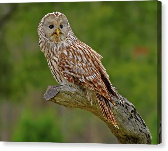 Ural Mountains Canvas Print - P3156138 Ural Owl by Stephen Ham