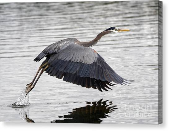 Pacific Great Blue Heron On Lift Off Canvas Print