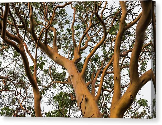 Pacific Madrone Trees Canvas Print
