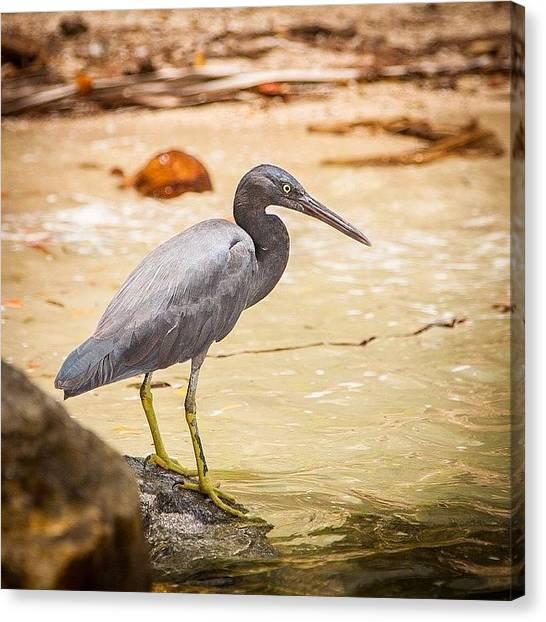 Herons Canvas Print - #pacific #reef #heron #bird Spotted by Digital Ghosts