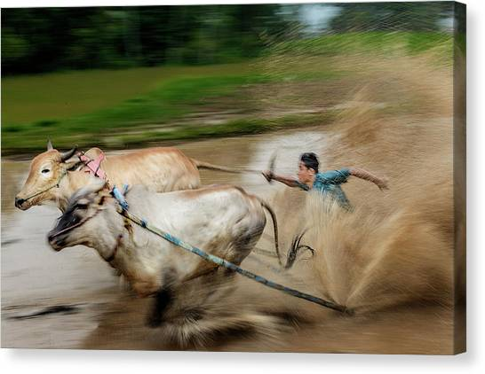 Canvas Print featuring the photograph Pacu Jawi Bull Race Festival by Pradeep Raja Prints