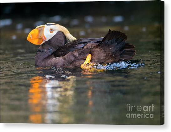 Puffins Canvas Print - Paddling Puffin by Mike Dawson