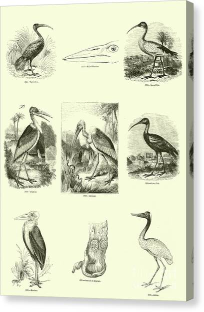 Ibis Canvas Print - Page From The Pictorial Museum Of Animated Nature  by English School