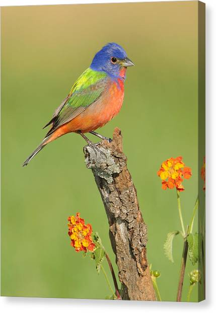 Buntings Canvas Print - Painted Bunting by Scott  Linstead