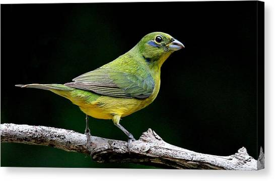 Painted Bunting - Second Year Male Canvas Print
