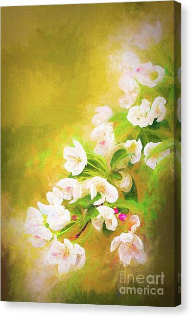 Painted Crabapple Blossoms In The Golden Evening Light Canvas Print