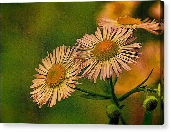 Painted Daisies 2 Canvas Print