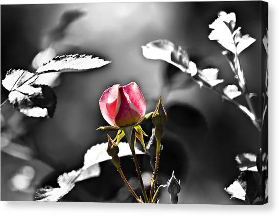 Painted Rosebud Canvas Print by Michael Whitaker