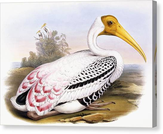 Storks Canvas Print - Painted Stork by John Gould