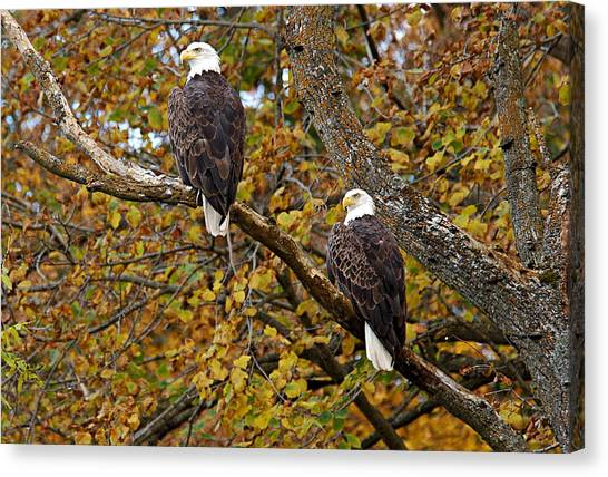 Pair Of Eagles In Autumn Canvas Print