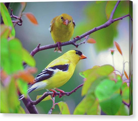 Pair Of Goldfinches Canvas Print