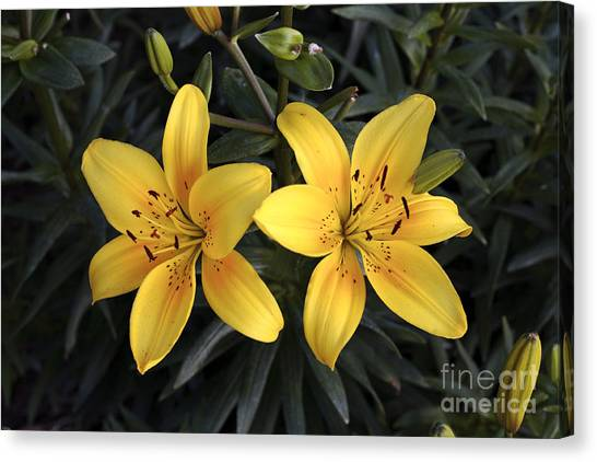 Pair Of Yellow Lilies Canvas Print