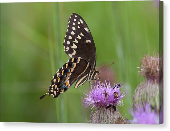 Palamedes Swallowtail And Friends Canvas Print