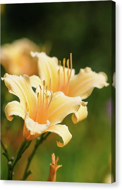 Pale Yellow Canvas Print