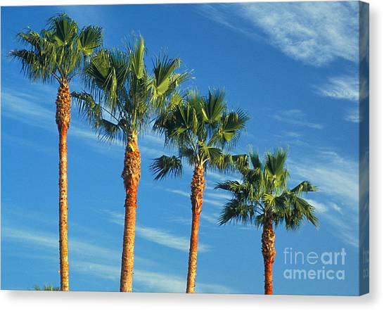 Palm Trees Canvas Print by Marc Bittan