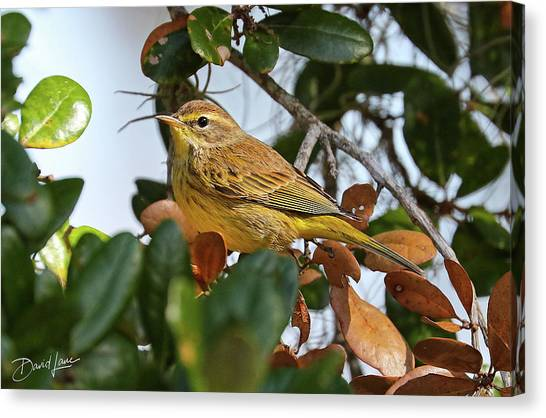 Palm Warbler Canvas Print