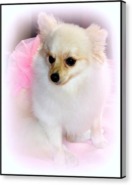 Pampered Pomeranian  Canvas Print