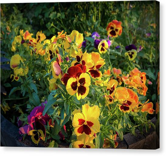Canvas Print featuring the photograph Pansies by John Brink