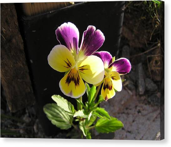 Pansy Out Of Cement Canvas Print by Richard Mitchell