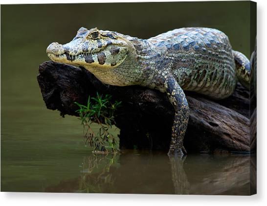 The Pantanal Canvas Print - Pantanal Caiman On Wood, Pantanal by Panoramic Images