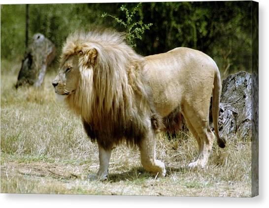 Papa Lion On The Prowl Canvas Print by Charles  Ridgway