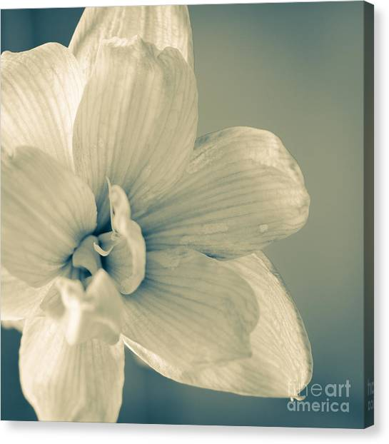 Andy Bloom Canvas Print - Paper Amaryllis White Amaryllis Flower On Watercolour Background by Andy Smy