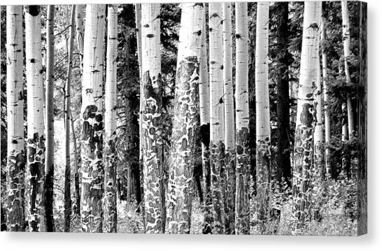 Paper Birch Canvas Print