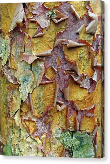 Paperbark Maple Tree Canvas Print