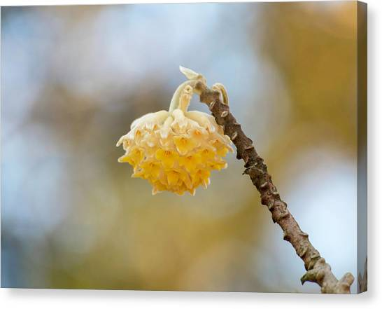 Paperbush Flower Canvas Print