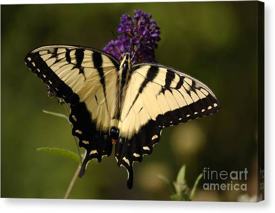 Papilio Yellow Canvas Print