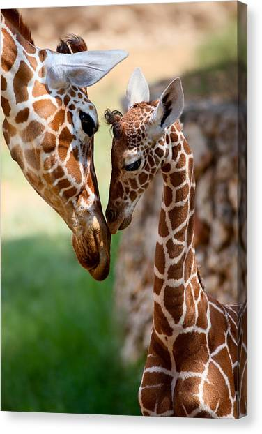 Giraffes Canvas Print - Parent-child Relationship by Yuri Peress
