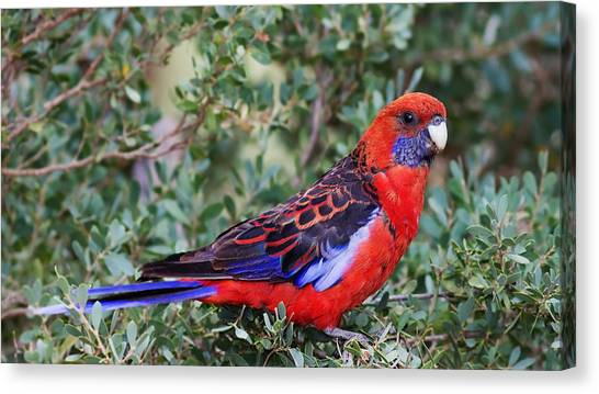 Woodpeckers Canvas Print - Parrot by Jackie Russo