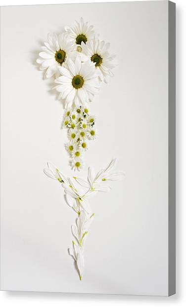 Parts Of A Daisy  Canvas Print