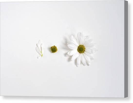 Parts Of A Shasta Daisy Canvas Print