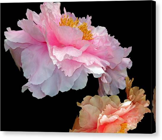 Pas De Deux Glowing Peonies Canvas Print