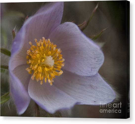 Pasqueflower Blossom Canvas Print