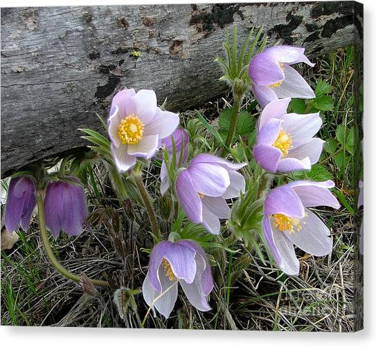 Pasqueflower Bouquet Canvas Print