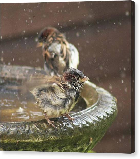 Animal Canvas Print - Pass The Towel Please: A House Sparrow by John Edwards
