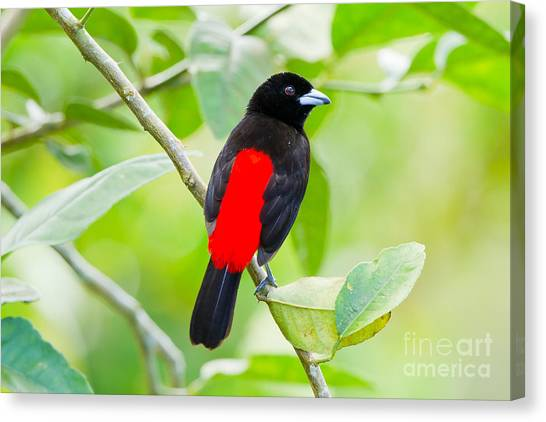 Arenal Volcano Canvas Print - Passerinis Tanager Male by B.G. Thomson