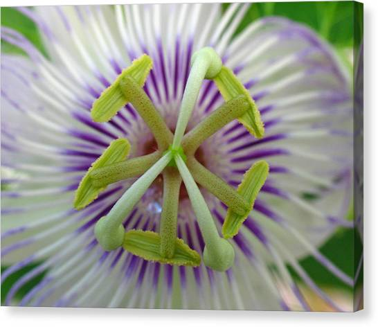 Passionflower Canvas Print - Passion Flower by Juergen Roth