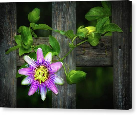 Passion Flower On The Fence Canvas Print