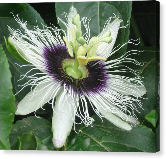 Passion Flower  - Passiflora Edulis Var. Flavicarpa Canvas Print