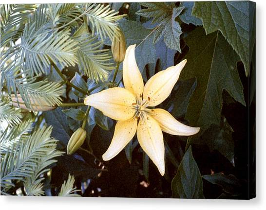 Pastel Yellow Lily Canvas Print