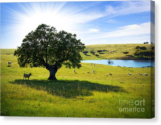 Rural Canvas Print - Pasturing Cows by Carlos Caetano