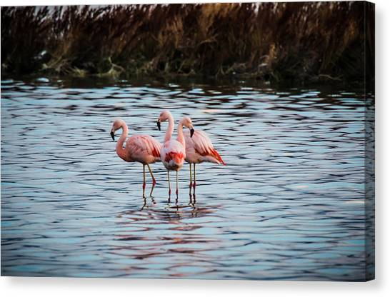 Patagonia Flamingoes Canvas Print