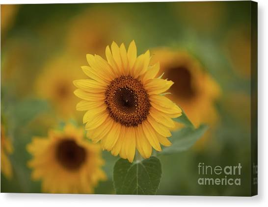 Patch Of Sunflowers Canvas Print