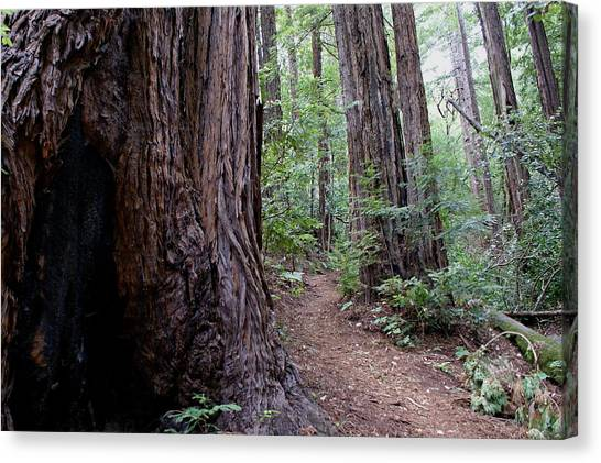 Canvas Print featuring the photograph Pathway Through A Redwood Forest On Mt Tamalpais by Ben Upham III