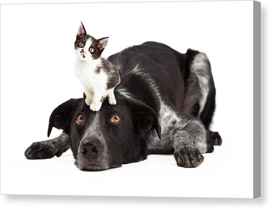 Border Collies Canvas Print - Patient Border Collie With Little Kitten On Head by Susan Schmitz